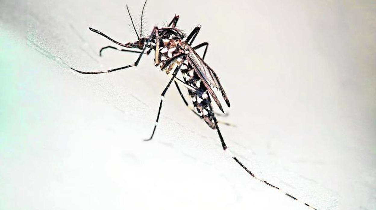 mosquito-tigre