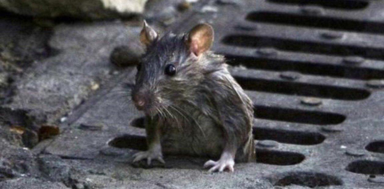 eliminar plagas de ratas