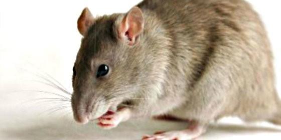 eliminar plagas de ratas rápido
